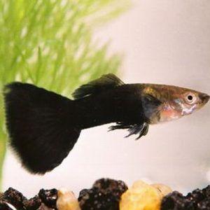 Half Black Guppy