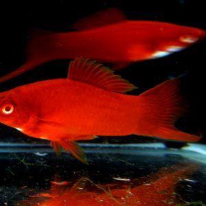 Red Swordtail fish