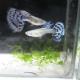 Blue Mosaic Guppy