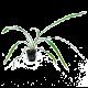 Cryptocoryne Spiralis Green